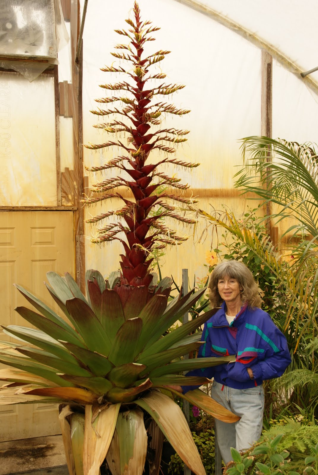 Bromeliads How To Keep The Color Going: They Aren't Just Super-market