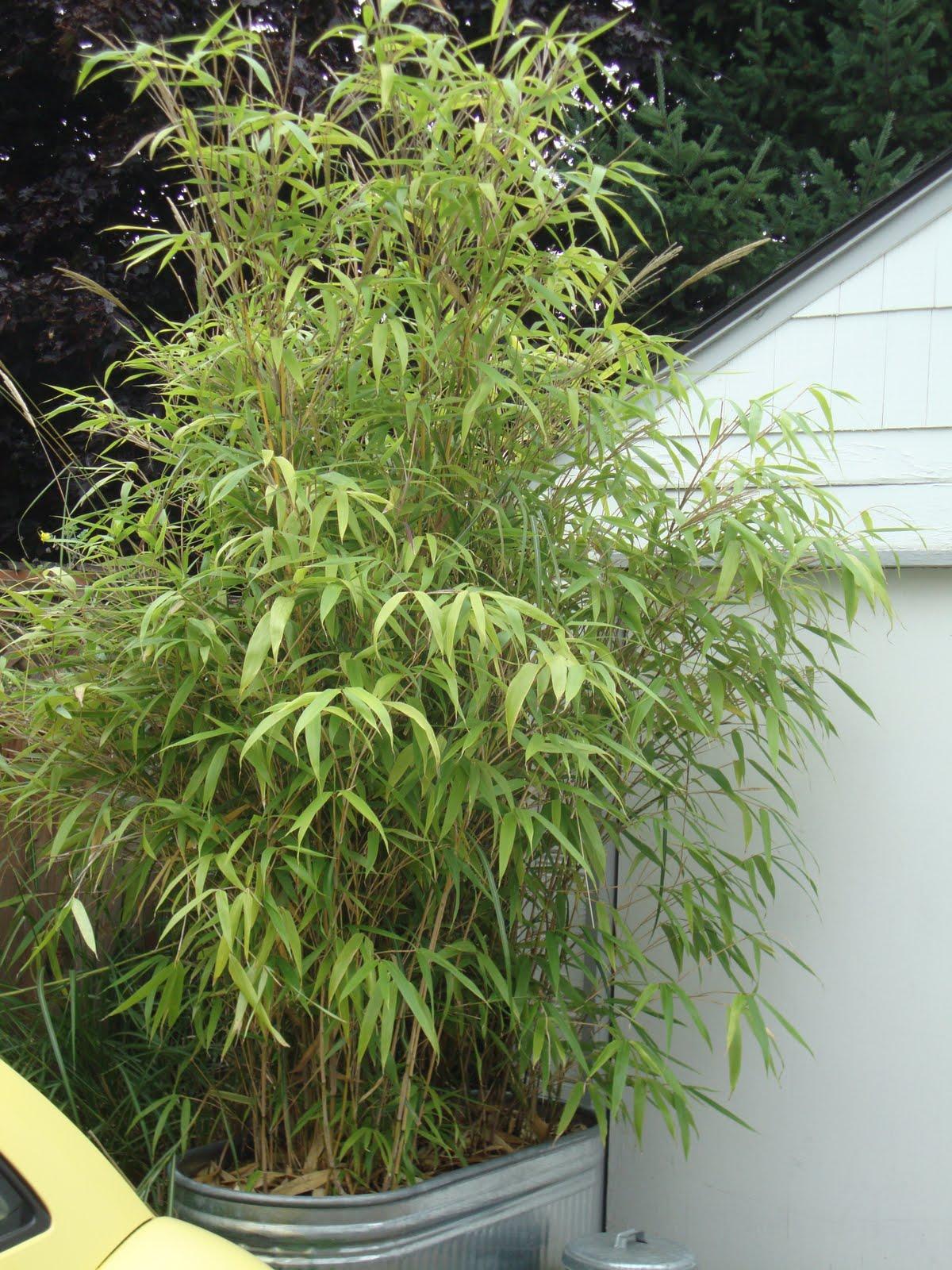 danger garden: Bamboo = green privacy