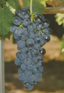Pied de vigne Syrah Shiraz