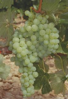 Airen   Cépages vin blanc