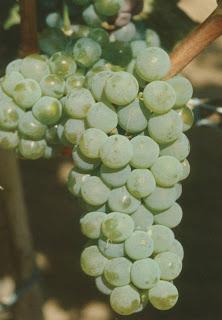 Le Riesling : Cépages de vigne.