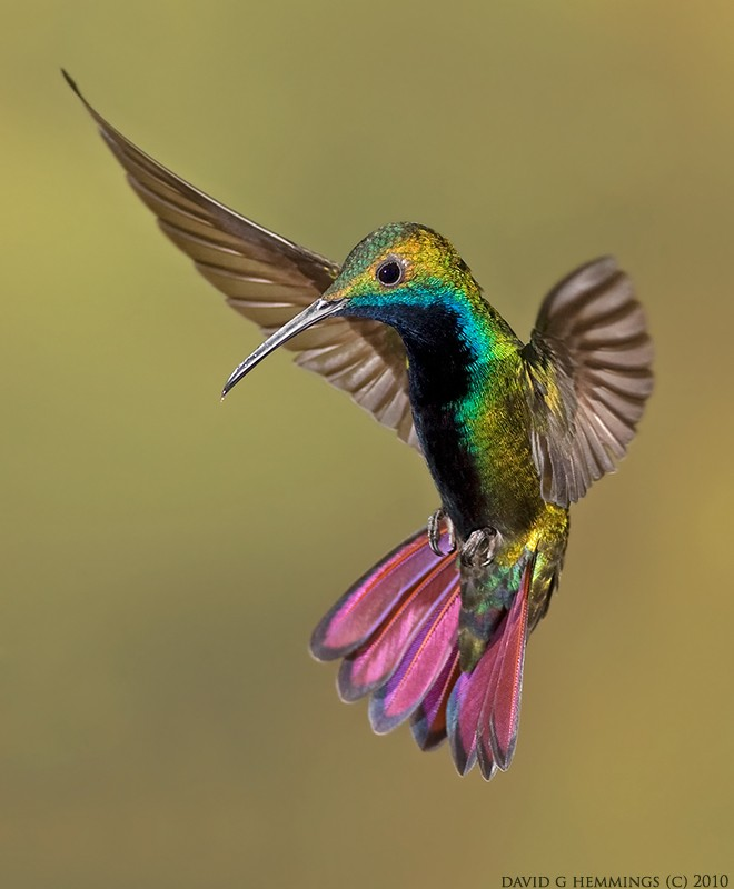 Birds and Barbells: Trochilidae - photo#49