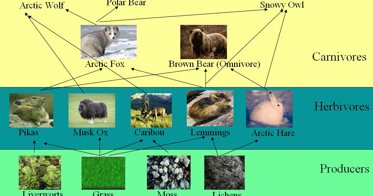 Food Chain Of A Arctic Wolf The Best Wolf 2018
