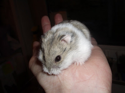 white dwarf hamster with red eyes - photo #21