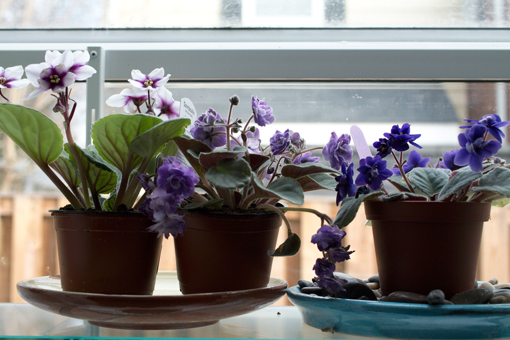 Image result for African violets at home