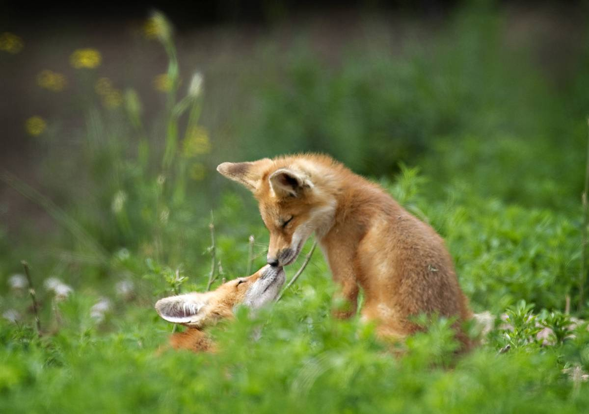 Liebchen S Random Thoughts Amp What Nots Baby Foxes
