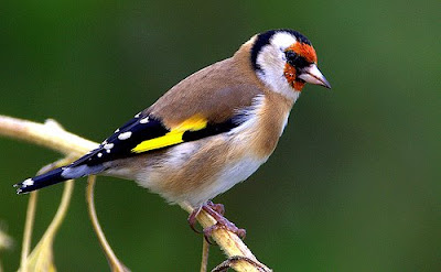 Net Results: European Goldfinch: established in the U S ?