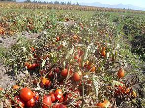 Agronomìa Uc 2010 Producción Por Hectárea Y Rendimiento En Tomate