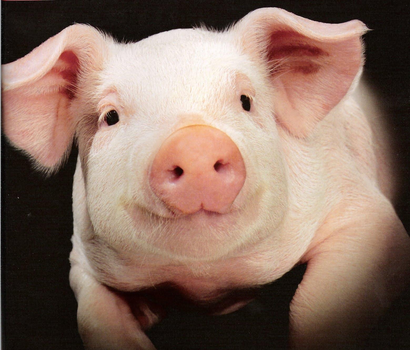 pig cute pigs face piglet piglets cerdo portrait animals farm animal close intended offense obama piggy adorable cutest pretty piggie