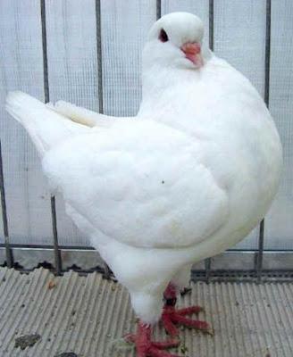 Jual Burung Merpati Hias Pigeon Breeds King Pigeon