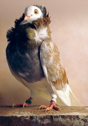 Doves For Sale >> Old Dutch Capuchine Pigeon Pictures ~ ENCYCLOPEDIA OF PIGEON BREEDS