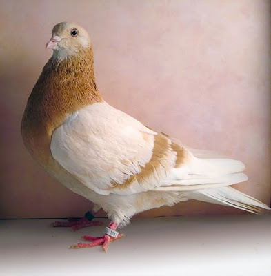 Roller pigeons - photo#29