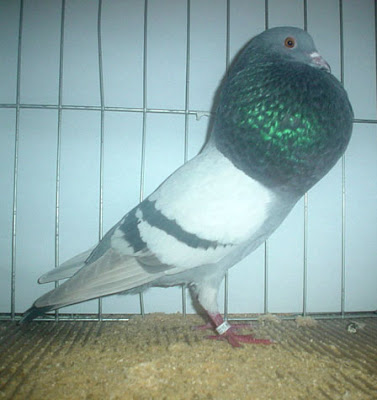 Horseman Thief Pouter Pigeon Pictures ~ ENCYCLOPEDIA OF ...