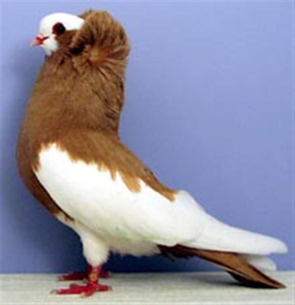 http://3.bp.blogspot.com/_rY7HiV-yKzo/S9bikYaVE-I/AAAAAAAADeU/d8Z1BSAdTw0/s1600/Komorner+Tumbler+Pigeon+20.jpg