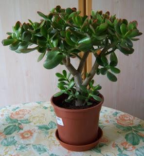 le jardin de constantine arbre de jade ou crassula ovata. Black Bedroom Furniture Sets. Home Design Ideas