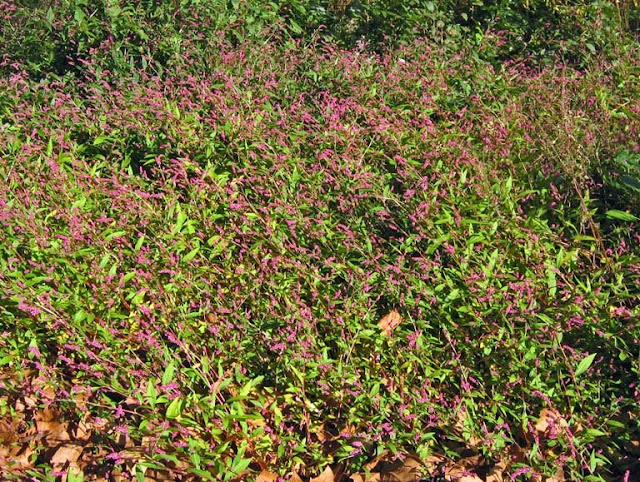 Mound our weeds foliage and pink flowers it self sows abundantly so that there is never a shortage of plants the young plants are distinctive and easy to pull mightylinksfo