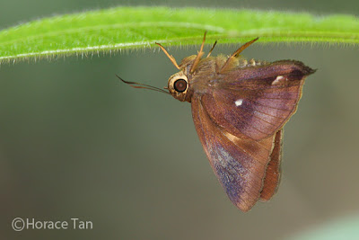 Butterflies of Singapore: Life History of the Common Awl