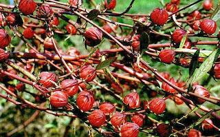 Hibiskus, Hibiküs, Hibiscus sabdariffa