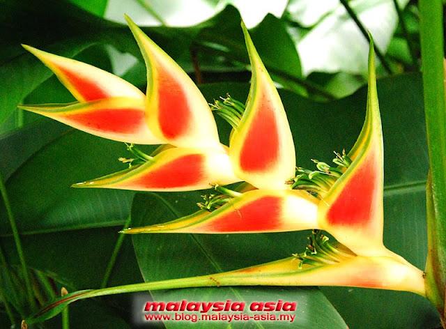 Sabah Yellow Orange Heliconia Flower