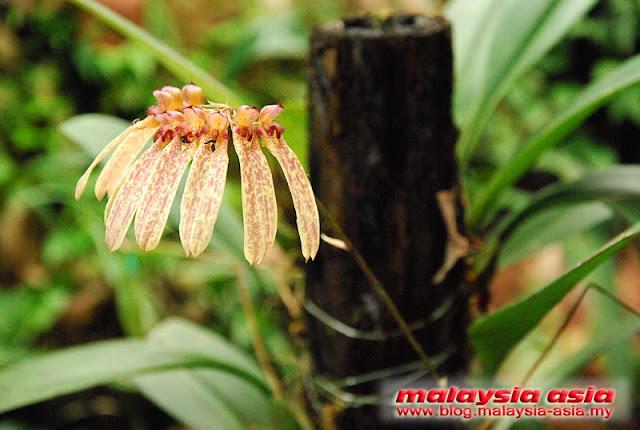 Sabah Borneo Umbrella Orchid