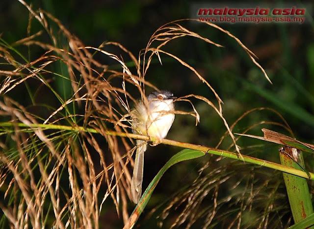 Pacific Swallow Kinabatangan River