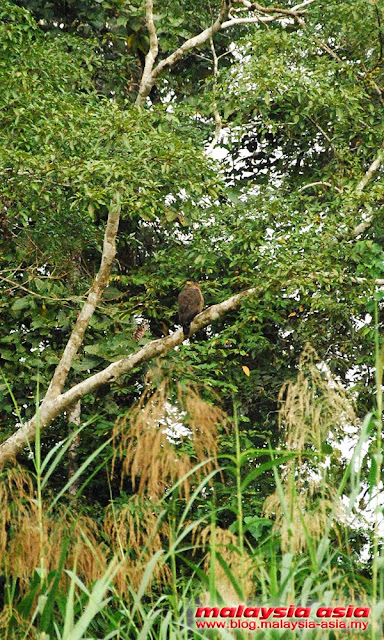 Raptor at Kinabatangan River
