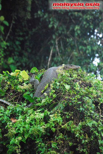 Wildlife at Kinabatangan River