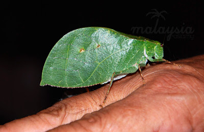 Leaf insect photo Sabah