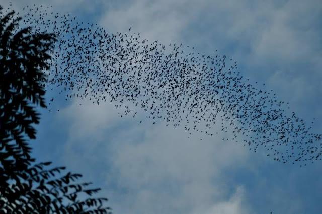 Picture of Mulu Cave Bats