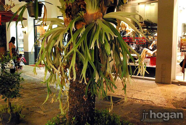 Indonesia Staghorn Ferns