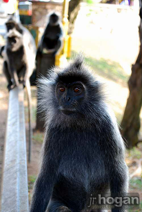 Portrait of Silver Leaf Monkey