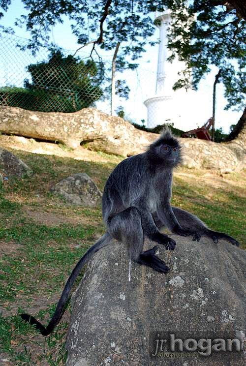 Selangor Silver Leaf Monkey