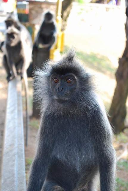 Bukit Melawati Silver Leaf Monkeys