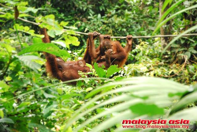 Orangutan Rehabilitation Center Sepilok Sabah