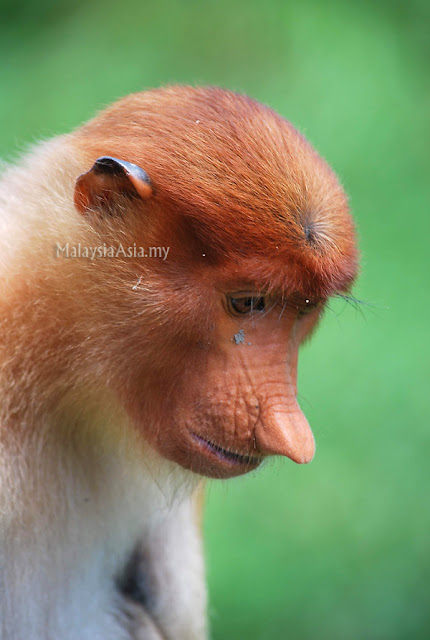 Picture of Proboscis Monkey