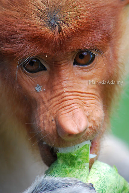 Close Up Proboscis Monkey