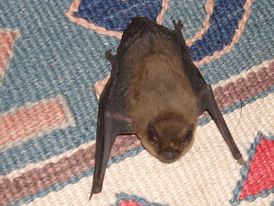 After Getting Its Breath Back On My Carpet Photo Below I Opened A French Door And The Bat Headed Calmly Outside Into Night