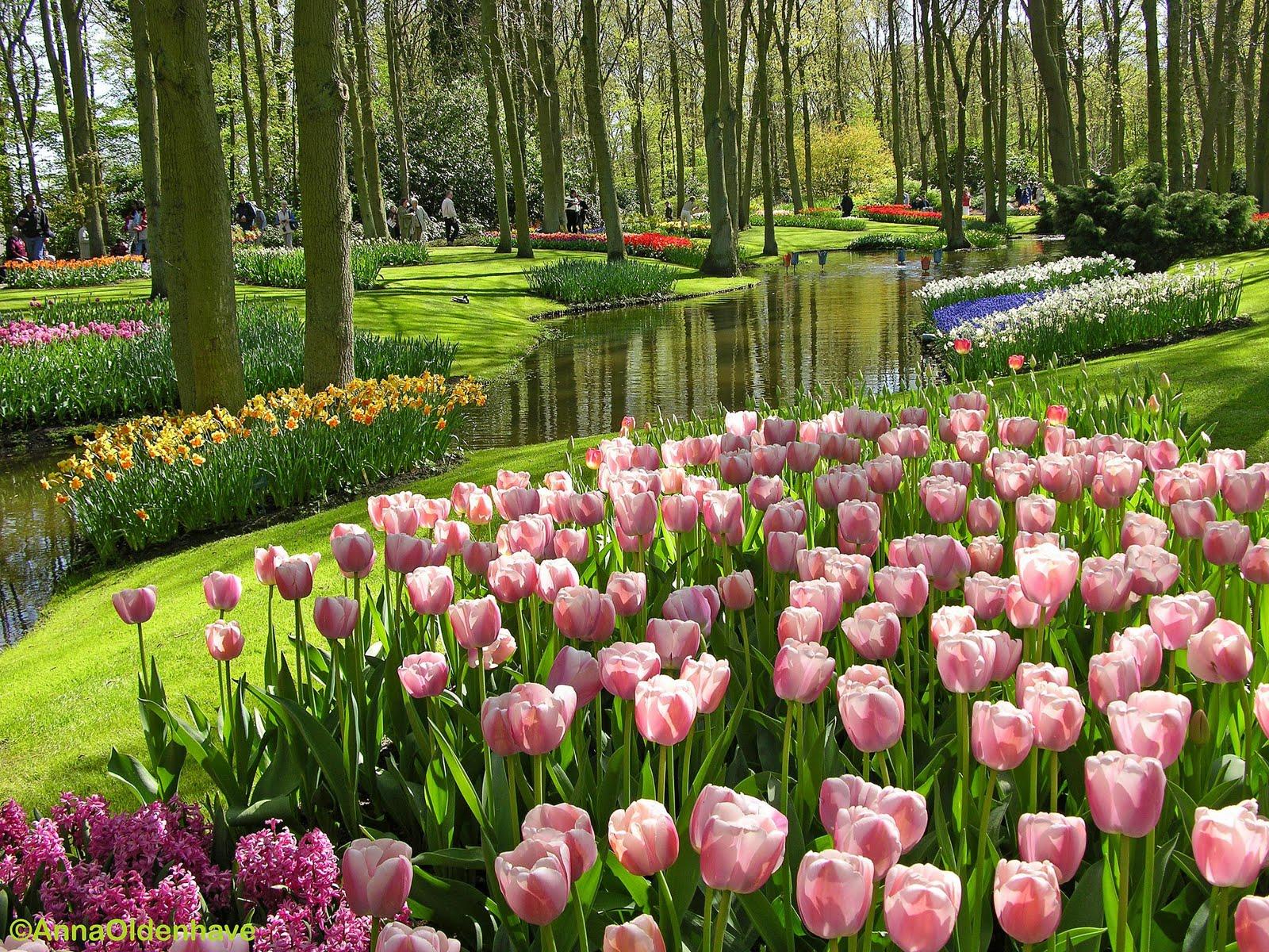 Tentang Dan Koleksi Bunga Tulip Gambar Hidup