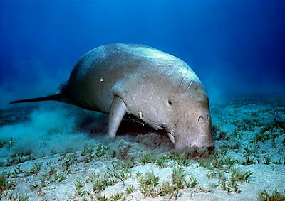the dugong or sea cow 2 - Kyoto Action against U.S. Military Expansion in Okinawa