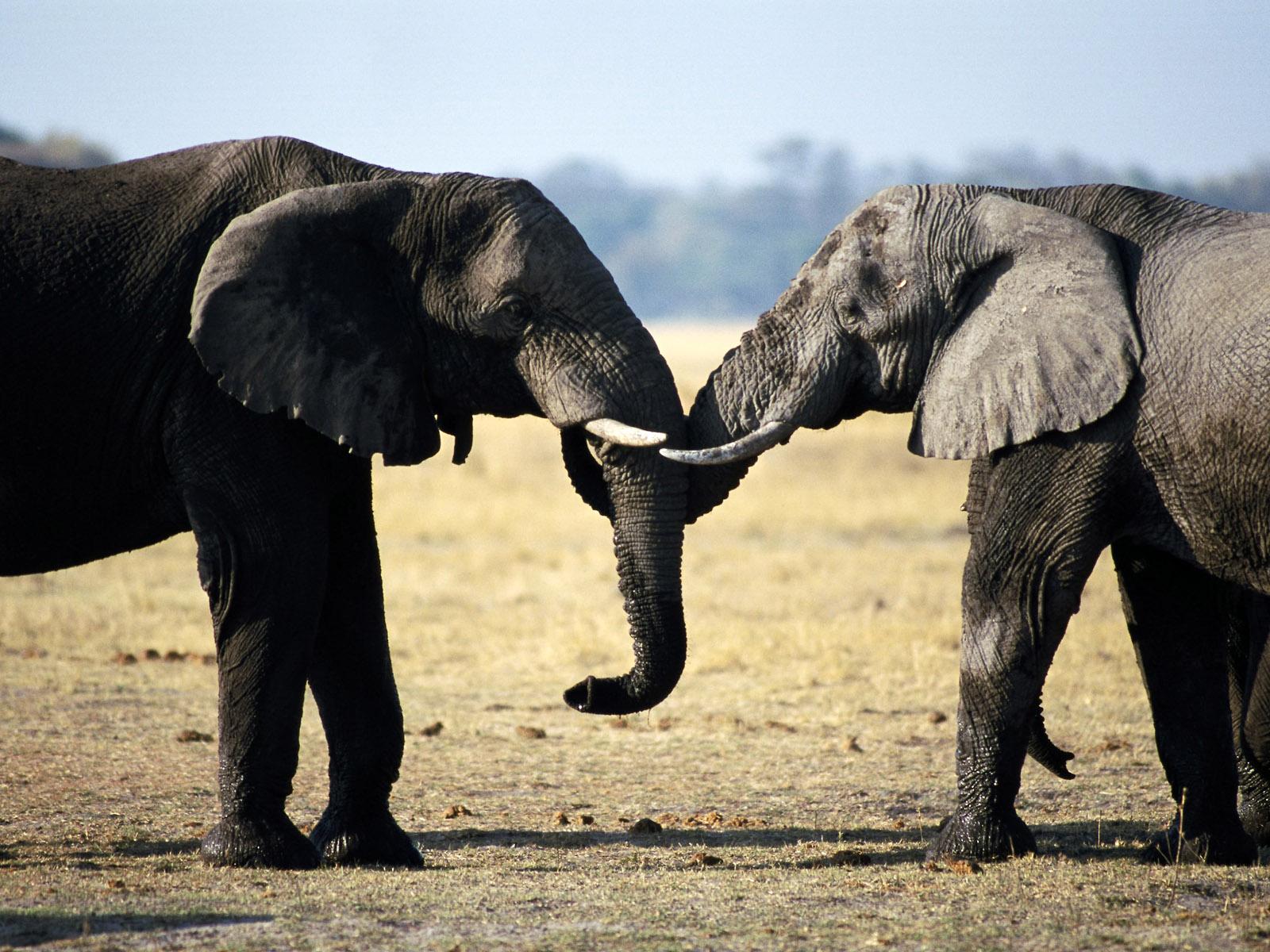 elephants wallpapers world - photo #12