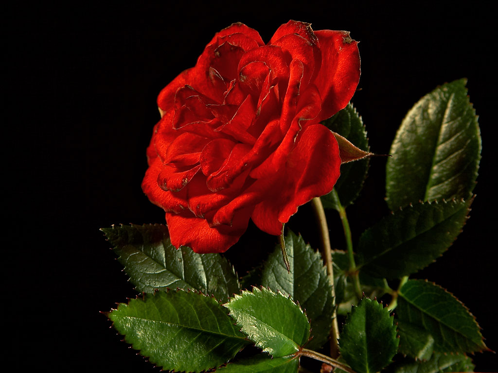 My Beautiful Picutre Album: Center Of Single Red Rose With