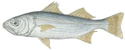 Queenfish (Croaker)