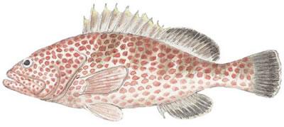 Red Hind (Epinephelus guttatus)