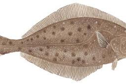 Pacific Halibut (Hippoglossus stenolepis)