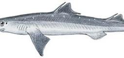 Spiny Dogfish (Squalus acanthias)