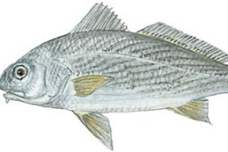 Yellowfin Croaker (Umbrina roncador)