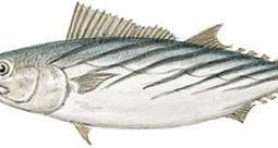 Pacific Bonito (Sarda chiliensis)