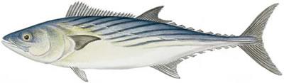 Atlantic Bonito (Sarda sarda)