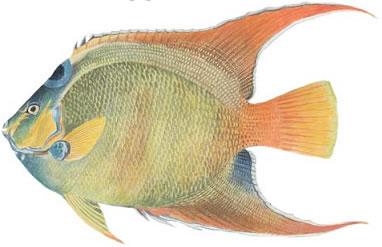 Queen Angelfish (Holacanthus ciliaris)