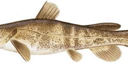 Flathead Catfish (Pylodictus olivaris)
